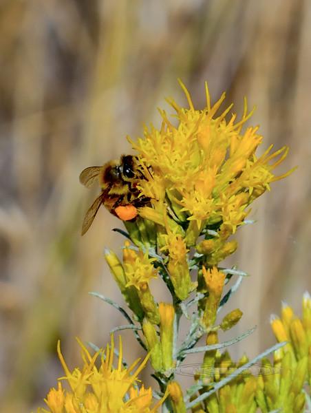 Bee-Apis melifera, Honey Bee 2017.9.12#3141. Showing pollen sack. Nat.Bison Range Montana.