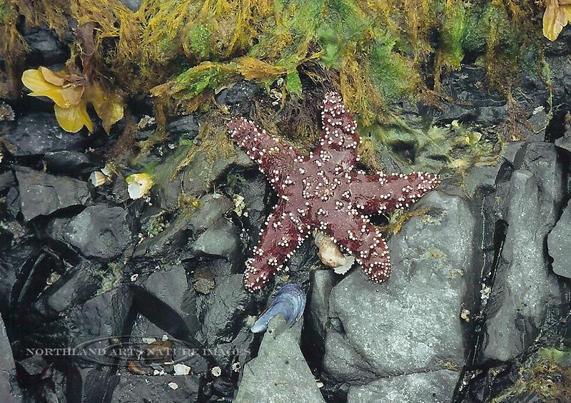 X-MARINE-Sea Star-Ochre or Purple Star 2003.5#013.3. Pigot Bay, Prince William Sound Alaska.