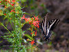 Butterfly-Swallowtail, Pale 2018.7.1#3735. Papilio eurymedon, nectering on Scarlet Gilia. Lolo Pass Montana.