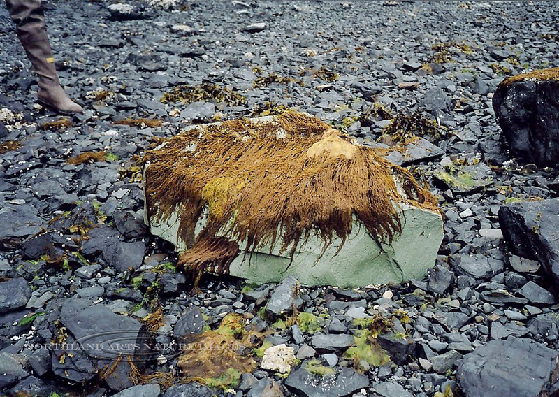 X-MARINE-An unusual rock erratic, unlike any other rocks in this area. Covered with an unknown Seaweed, maybe Feather boa. Pigot Bay, Prince William Sound Alaska.