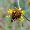 Bee-Bumblebee, Sonoran 2018.9.28#249.3. Bombus sonorus. Agua Fria River, Yavapai County Arizona.