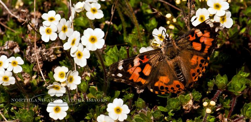 Butterfly-Vanessa cardui. Painted Lady 2011.5.13#093. On Rock Jasmine. Anchorage Alaska.