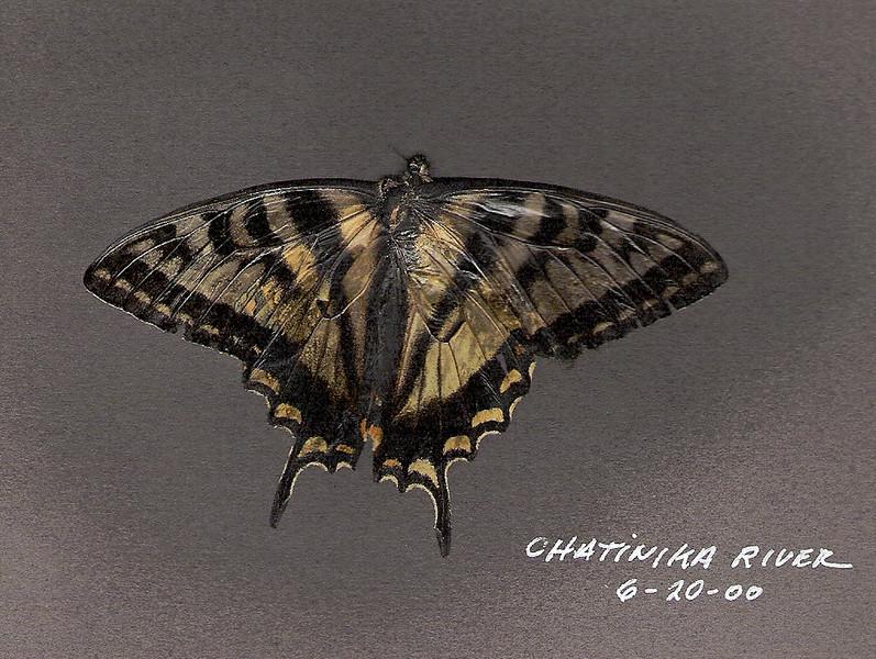 Butterfly-Swallowtail species 200.6.20#2. Chatanika River Alaska.