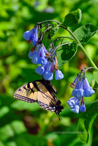 Butterfly-Swallowtail species 2008.4.23#312. Bowman's Hill Preserve, Bucks County Pennsylvania.