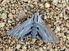 MOTH-Vashti Sphinx Moth 2018.5.14#066. Sphinx Vashti. Prescott Valley Arizona.