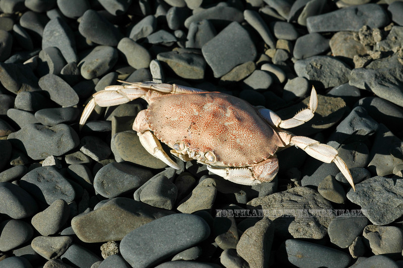 X-MARINE-Crab, Dungeness 2005.9.30#0102.2. Cancer magister, an exoskeleton. Oil Bay on the Cook inlet side of the Alaska Peninsula, Alaska.