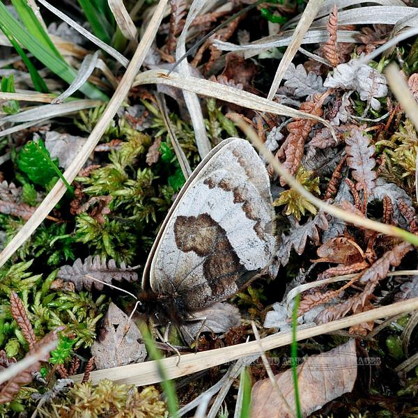BUTTERFLIES-UK but maybe White veined or Philips 2012.6.30#173. Primrose Ridge, Denali  Nat. Park Alaska.