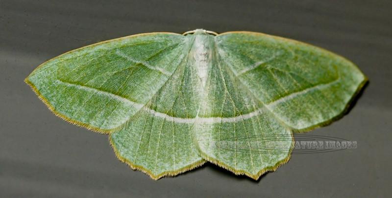 Moth-Campaea perlata, Pale Beauty 2005.6.10#0011. Anchorage Alaska.