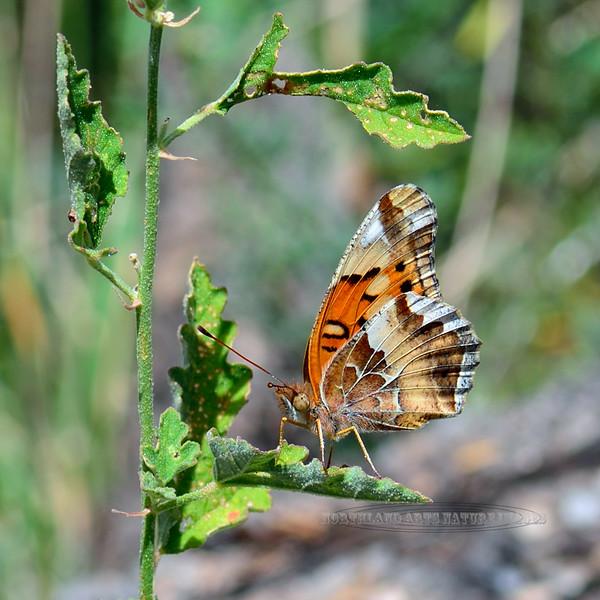 Butterfly-UK, similar to physiode texana 2018.9.22#296. Mingus Mountain Arizona.
