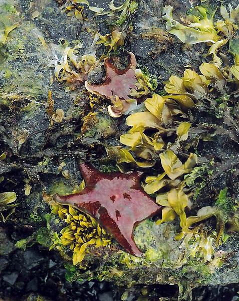 X-MARINE-Sea Star-Bat Star 2003.5#003.3. Asterinia miniata. in Rockweed. Pigot Bay, Prince William Sound Alaska.