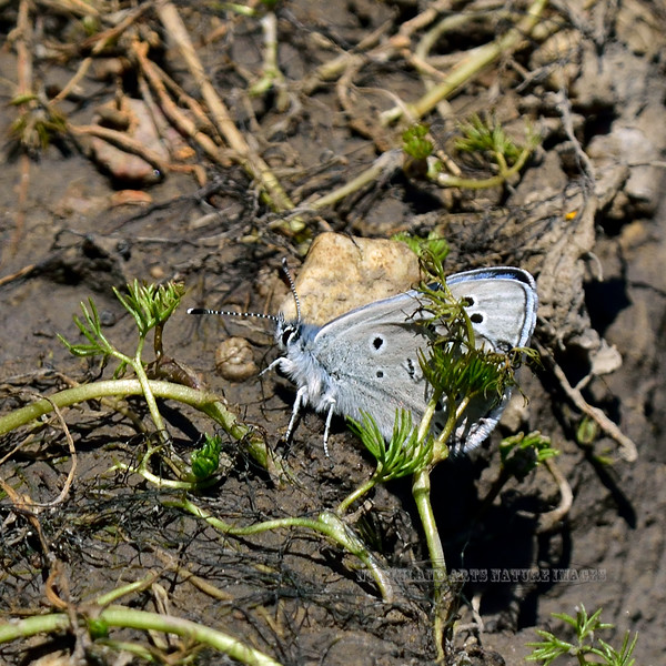 Butterfly-Plebejus species 2018.4.26#228. Kaibab forest Grand Canyon Nat. Park Arizona.