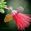 Butterfly-Metalmark, Arizona 2017.7.27#. Calephellis arizonensis. With an unknown. Hassayampa Preserve Arizona.