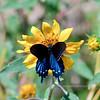 BUTTERFLIES-Swallowtail, Pipevine 2018.9.28#015. Battus philenor, on a Sunflower. Yavapai County Arizona.