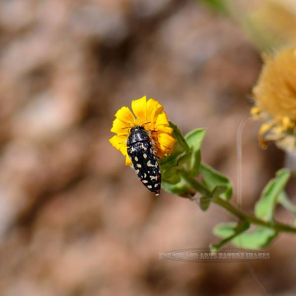 Beetle-UK, metallic borer 2018.9.28#754. Mingus mountain Arizona.