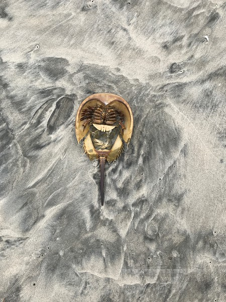 X-MARINE-Horseshoe Crab 2020.9.18#0018. One of quite a few I found washed up near the strand line. Stone Harbor Point, Cape May New Jersey.