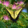 BUTTERFLIES-Swallowtail, Two-tailed 2017.7.29#017. Papilio multicaudata. Looks like a male Two -tailed but clearly has three tails.  Prescott Valley Arizona.