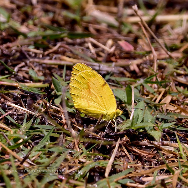 BUTTERFLIES-Yellow, Southern Dogface 2018.5.21#1651. Colias cesonia, mud puddling in Madera Canyon Arizona.