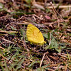 Butterfly-Colias cesonia, Southern Dogface 2018.5.21#1651. Madera Canyon Arizona.
