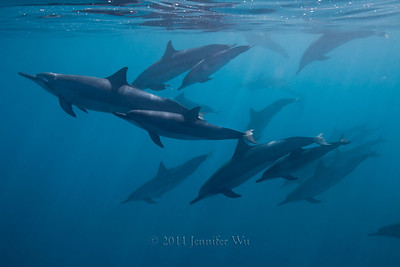 Wild Spinner Dolphins, Hawaii  20110421_Dolphins_042