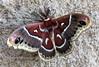 Moth-Hyalophora gloveri 2019.7.27#024. Glover's Silkmoth. Prescott Arizona.