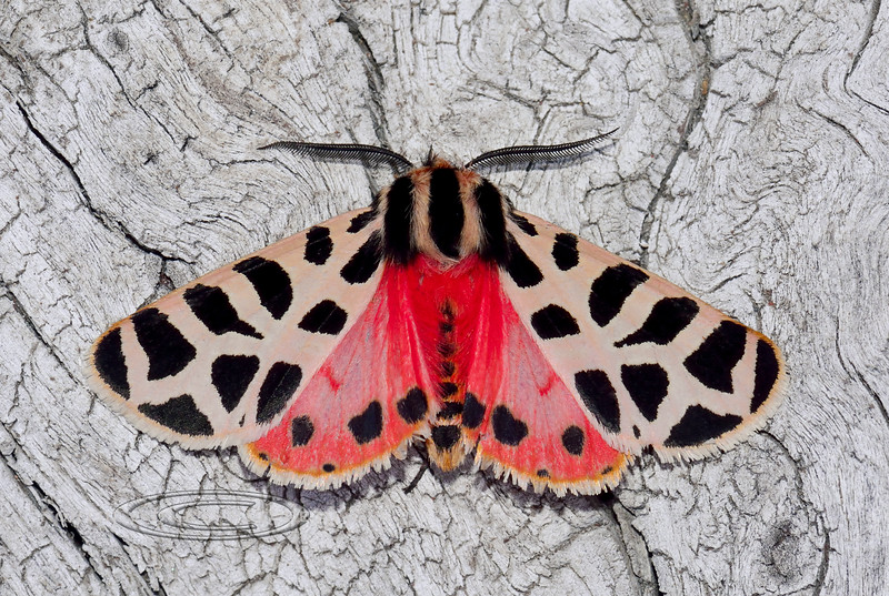 Moth-Grammia species, possibly virgo, Tiger Moth 2018.9.15#016. Prescott Valley Arizona.
