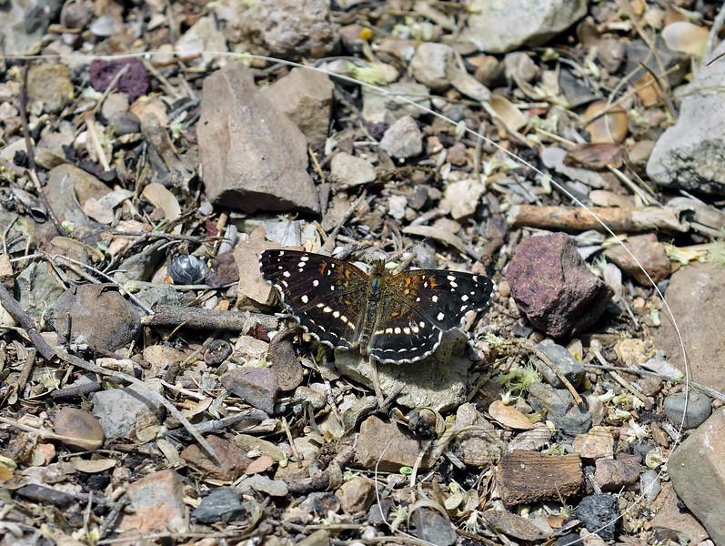 Butterfly-Phycioides texana, Texas Crescent 2018.5.1#084. DM, Tucson Arizona.