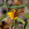 Wasp-Polistes aurifer, A Golden Paper Wasp 2018.9.27#040. Mingus Mountain Arizona.