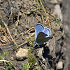 Butterfly-Blue, Silvery 2018.4.26#222. Glaucopsyche lygdamus. Kaibab forest Grand Canyon Nat. Park Arizona.