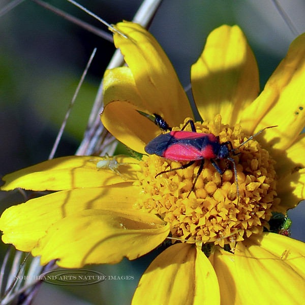 Beetle-UK 2018.9.27#263jptfrwa3-Mingus Mountain Arizona.