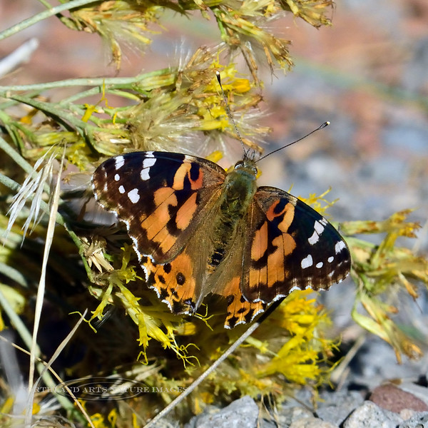 Butterfly-Vanessa cardui, Painted Lady 2017.10.6#126. Arches Nat. Park Utah.