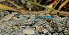 DAMSELFLIES, DRAGONFLIES-Damselfly, Northern Bluet 2016.7.18#133.3. Grouse Creek, near Seward Alaska.