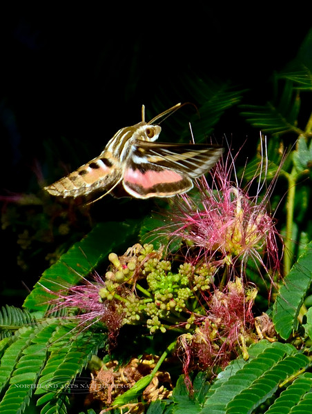 Moth-Hyles lineata, The White-lined Sphinx Moth 2017.7.22#247. Prescott Valley, Arizona.