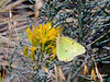 Butterfly-Sulphur, Western 2017.9.12#3128. Colias occidentalis nectering on goldenrod. Nat. Bison Range, Montana.