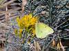 BUTTERFLIES-Sulphur, Western 2017.9.12#3128. Colias occidentalis nectering on goldenrod. Nat. Bison Range, Montana.