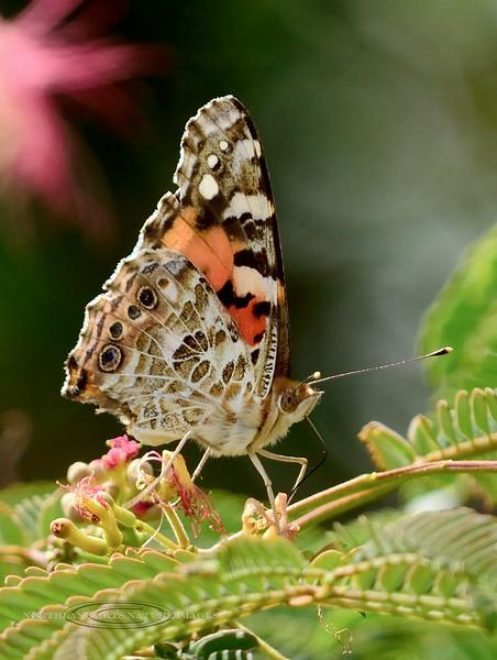 Butterfly-Vanessa cardui, Painted Lady 2017.8.3#238. Prescott Valley, Arizona.