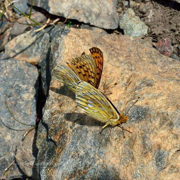 Butterfly-Speyeria species 2014.6.20#010. Savage Canyon, Denali NP, Alaska.