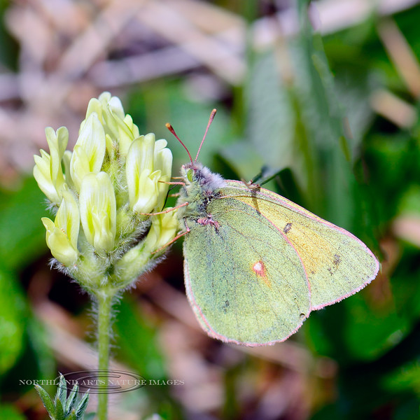 BUTTERFLIES-Sulphur, Clouded 2015.7.4 Collias philodice vitabunda. Denali Nat. Park Alaska.