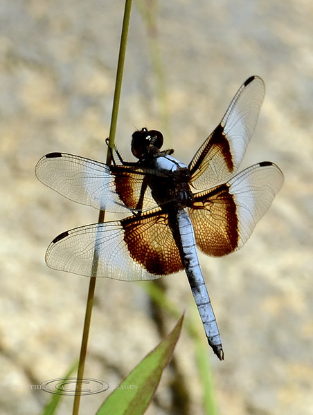 DDF--The Widow Skimmer Dragonfly 2017.8.1#5036.4. Watson Lake Arizona.