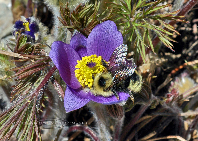 Bee-Bombus species, perhaps fervidus or lukorum 2007.5.21#0044. Anchorage, Alaska.