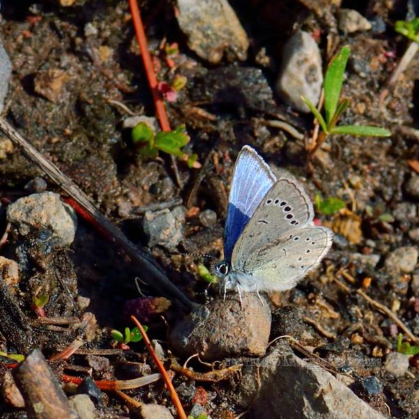 Butterfly-Plebejus saepiolus, The Greenish Blue. Yellowstone NP Wyoming. #74.4320.