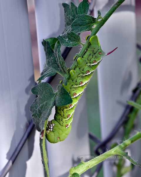 CATERPILLAR-Manduca quinquemaculata 2021.8.5#7130.3. The Tomato Hornworm caterpillar turns into the Five Spotted Hawkmoth. This one was captured on a Tomato plant in Prescott Valley Arizona.