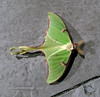 MOTH-Luna Moth 2020.5.4#0639.3. Actias luna. Bucks County Pennsylvania. Photo by Tina J.