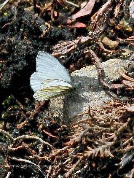 BUTTERFLIES-White, Margined Mustard 2013.6.1#016. Pieris napi marginalis. Denali Nat. Park Alaska.