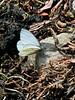 Butterfly-Pieris napi marginalis, Margined Mustard White 2013.6.15#016. Denali Nat. Park Alaska.