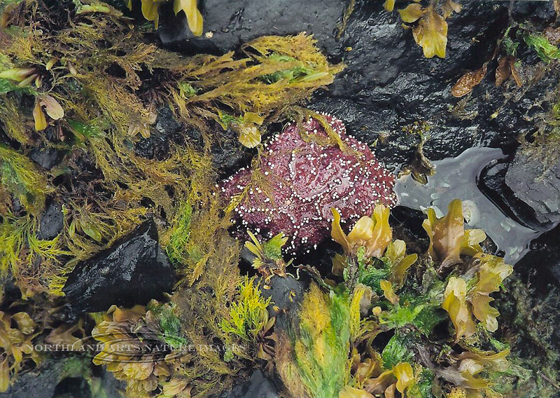 X-MARINE-Sea Star-Ochre Star 2003.5#012.5. Surrounded by Rockweed and unknown Seaweed. Pigot Bay, Prince William Sound Alaska.