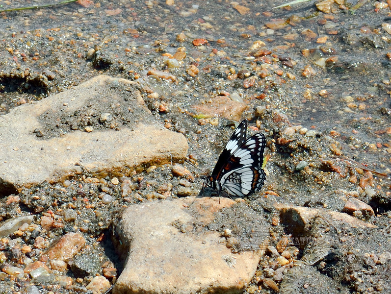 Butterfly-UK 2018.7.6#4897. Powder River Wyoming.