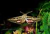 MOTH-Sphinx, White-lined Moth 2017.7.22#251. Hyles lineata. Prescott Valley, Arizona.