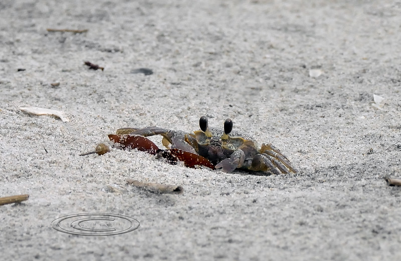 X-MARINE-Crab-Ocypode quadrata, the Atlantic Ghost Crab. 20201.9.18#4627.3. Near Stone Harbor Point, Cape May, New Jersey
