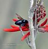 Bee-Carpenter species 2019.6.4#146.3X. Xylocopa sp. on a Coral Bean bush. Box Canyon, Santa Rita Mountains Arizona.
