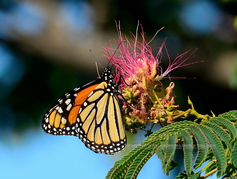 Butterfly-Danaus plexippus, Monarch 2017.7.26#037. Prescott Valley Arizona.